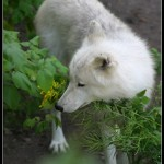 a lovely white Wolf