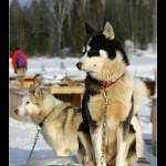Artic DogSledding